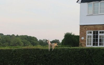 DOG surfing hedge